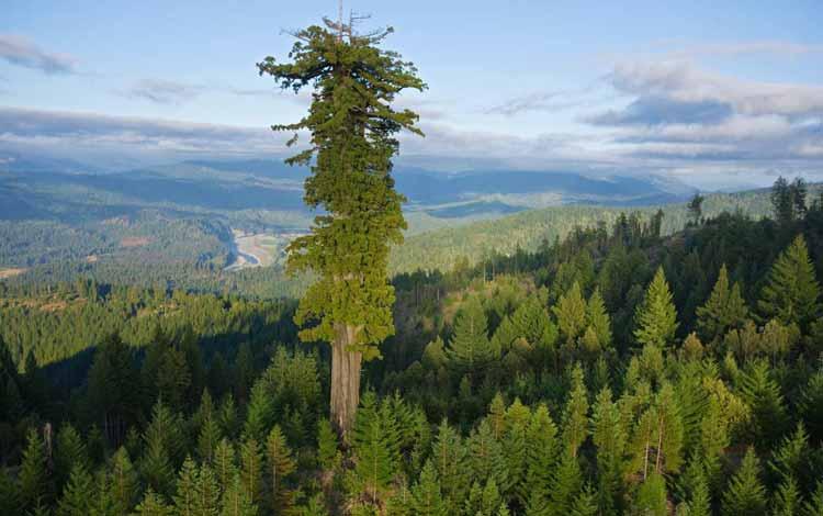 Berbagai Pohon Terunik Di Dunia Yang Bakalan Membuat Kita Berdecak Kagum - Pohon Hyperion
