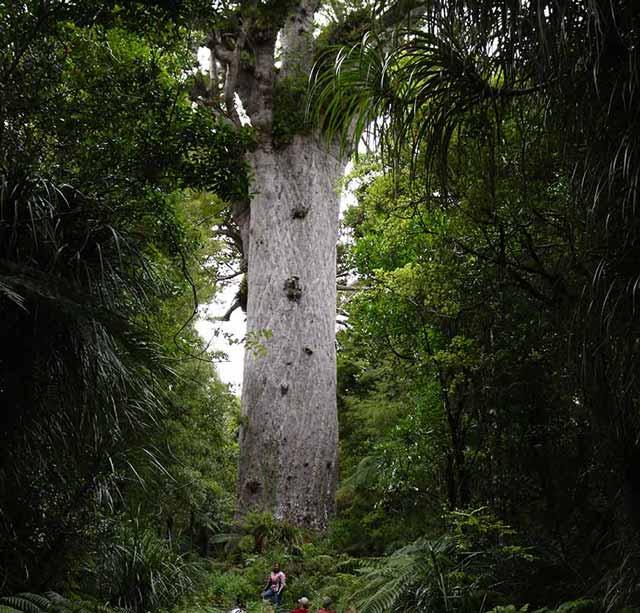Berbagai Pohon Terunik Di Dunia Yang Bakalan Membuat Kita Berdecak Kagum - Pohon Kauri