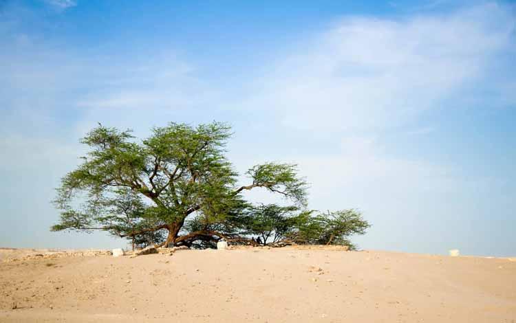 Berbagai Pohon Terunik Di Dunia Yang Bakalan Membuat Kita Berdecak Kagum - Pohon Kehidupan