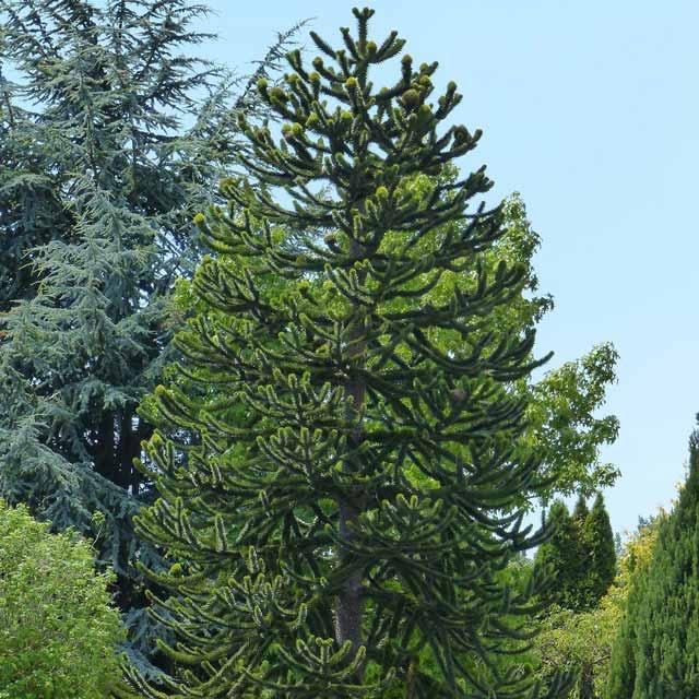 Berbagai Pohon Terunik Di Dunia Yang Bakalan Membuat Kita Berdecak Kagum - Pohon Monkey Puzzle