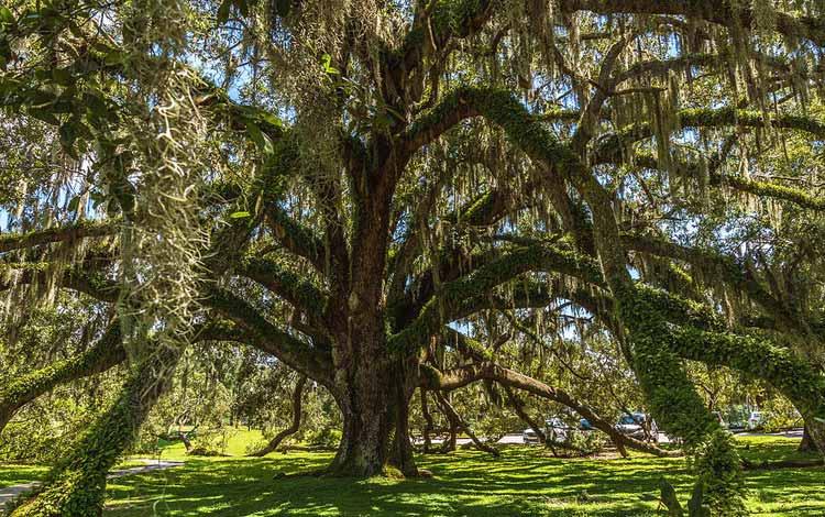 Berbagai Pohon Terunik Di Dunia Yang Bakalan Membuat Kita Berdecak Kagum - Pohon Oak Mayor