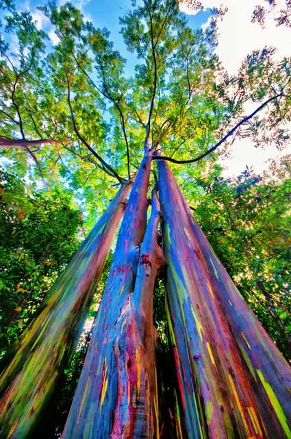Berbagai Pohon Terunik Di Dunia Yang Bakalan Membuat Kita Berdecak Kagum - Pohon Pelangi Eucalyptus