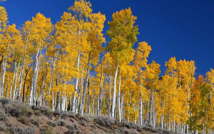 Berbagai Pohon Terunik Di Dunia Yang Bakalan Membuat Kita Berdecak Kagum - Pohon Quaking Aspen