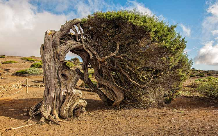 Berbagai Pohon Terunik Di Dunia Yang Bakalan Membuat Kita Berdecak Kagum - Pohon Sabina