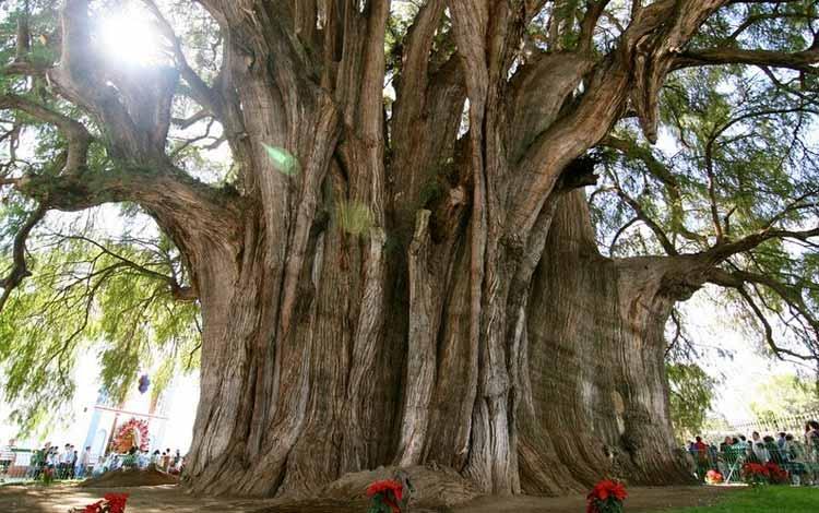 Berbagai Pohon Terunik Di Dunia Yang Bakalan Membuat Kita Berdecak Kagum - Pohon Tule