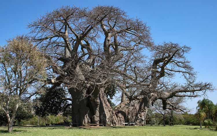 Berbagai Pohon Terunik Di Dunia Yang Bakalan Membuat Kita Berdecak Kagum - Sunland Baobab