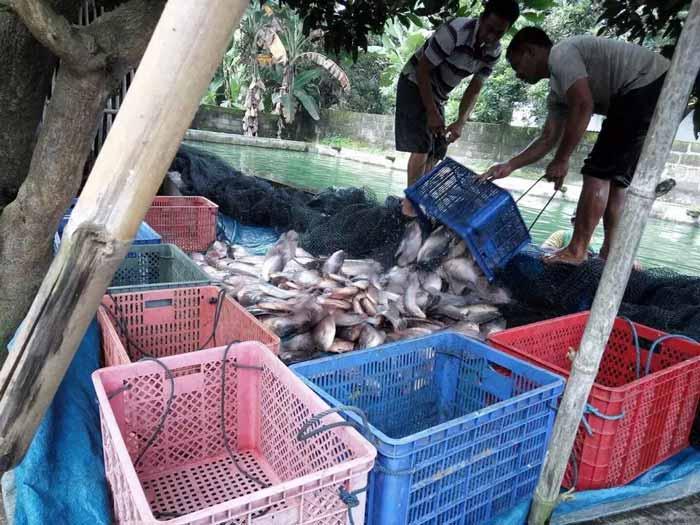 Berbagai Bisnis Budidaya Ikan Dengan Pendapatan Hingga Ratusan Juta Rupiah - Budidaya ikan gurami