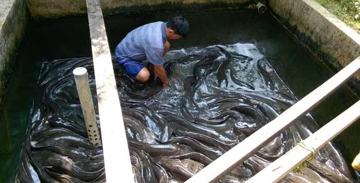 Berbagai Bisnis Budidaya Ikan Dengan Pendapatan Hingga Ratusan Juta Rupiah - Budidaya ikan lele