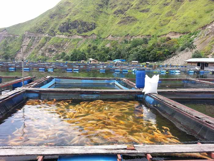 Berbagai Bisnis Budidaya Ikan Dengan Pendapatan Hingga Ratusan Juta Rupiah - Budidaya ikan mas