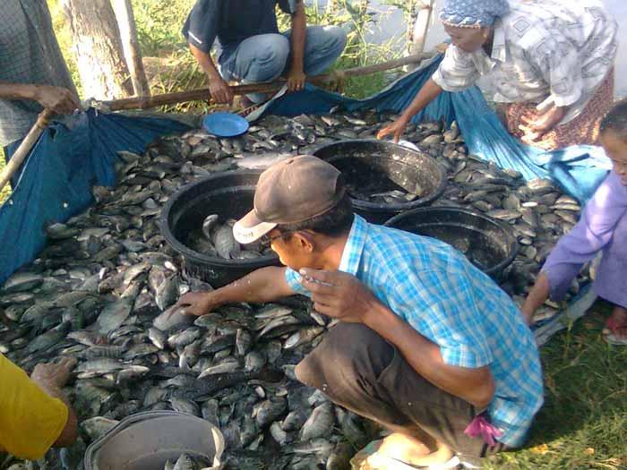 Berbagai Bisnis Budidaya Ikan Dengan Pendapatan Hingga Ratusan Juta Rupiah - Budidaya ikan mujair