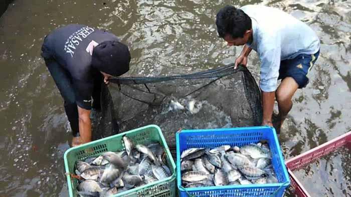 Berbagai Bisnis Budidaya Ikan Dengan Pendapatan Hingga Ratusan Juta Rupiah - Budidaya ikan nila