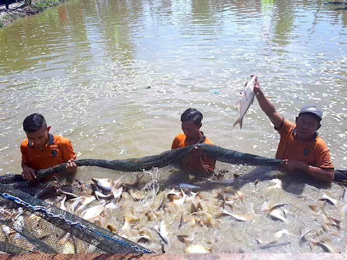 Berbagai Bisnis Budidaya Ikan Dengan Pendapatan Hingga Ratusan Juta Rupiah - Budidaya ikan patin