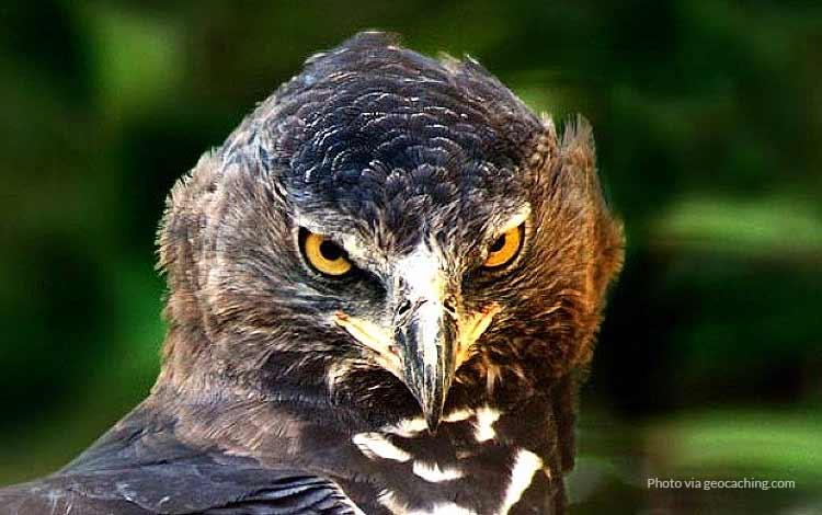 Burung Paling Kuat Dan Tangguh di Dunia