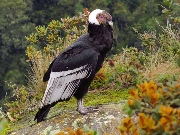 Daftar Burung Paling Kuat Dan Tangguh Di Dunia - Andean Condor