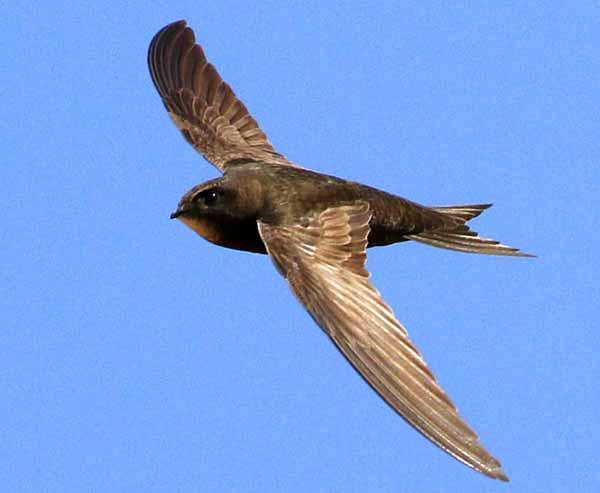 Daftar Burung Paling Kuat Dan Tangguh Di Dunia - Burung Kapinis