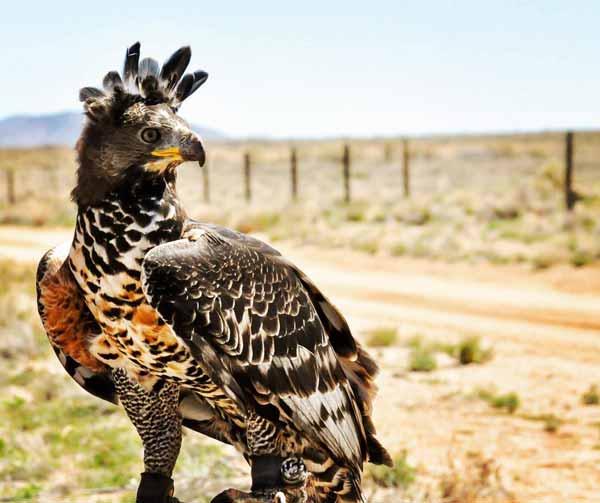 Daftar Burung Paling Kuat Dan Tangguh Di Dunia - Crowned eagle