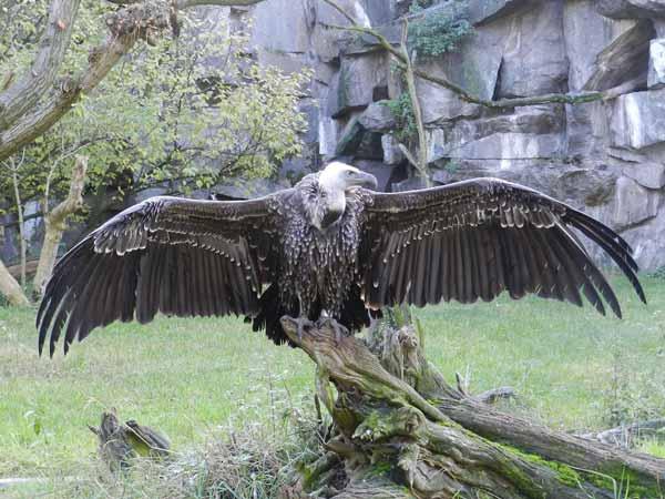 Daftar Burung Paling Kuat Dan Tangguh Di Dunia - Vultur Ruppel