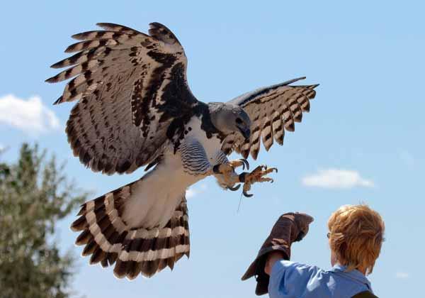 Daftar Burung Paling Kuat Dan Tangguh Di Dunia - Harpy Eagle