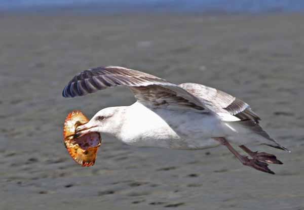 Daftar Burung Paling Kuat Dan Tangguh Di Dunia - Herring Gull
