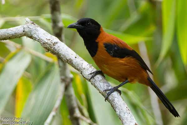 Daftar Burung Paling Kuat Dan Tangguh Di Dunia - Hooded Pitohui