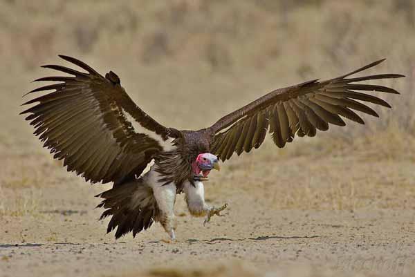 Daftar Burung Paling Kuat Dan Tangguh Di Dunia - Lappet Faced Vulture