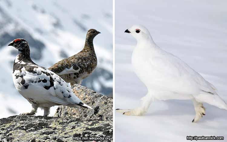 Deretan Binatang Yang Mampu Berubah Warna Selain Bunglon - Belibis Kutub