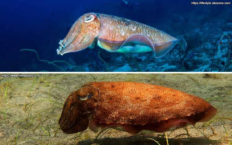 Deretan Binatang Yang Mampu Berubah Warna Selain Bunglon - Ikan Sotong