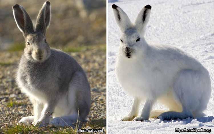 Deretan Binatang Yang Mampu Berubah Warna Selain Bunglon - Kelinci Salju