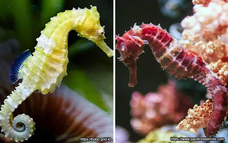 Deretan Binatang Yang Mampu Berubah Warna Selain Bunglon - Kuda Laut