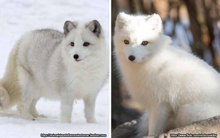 Deretan Binatang Yang Mampu Berubah Warna Selain Bunglon - Rubah Kutub