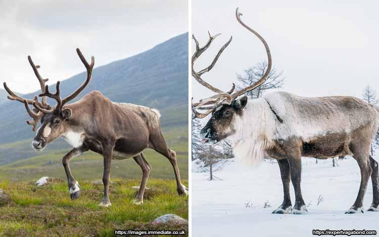 Deretan Binatang Yang Mampu Berubah Warna Selain Bunglon - Rusa Kutub