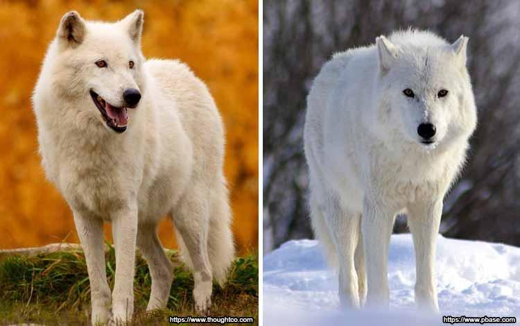 Deretan Binatang Yang Mampu Berubah Warna Selain Bunglon - Serigala Kutub