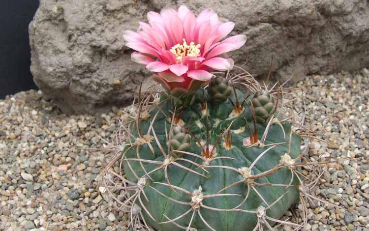 Jenis Kaktus Hias Mini - Gymnocalycium
