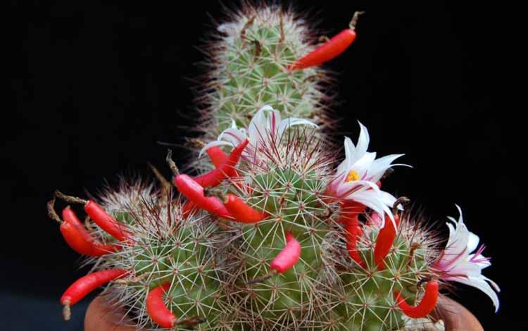 Jenis Kaktus Hias Mini - Mammillaria fraileana