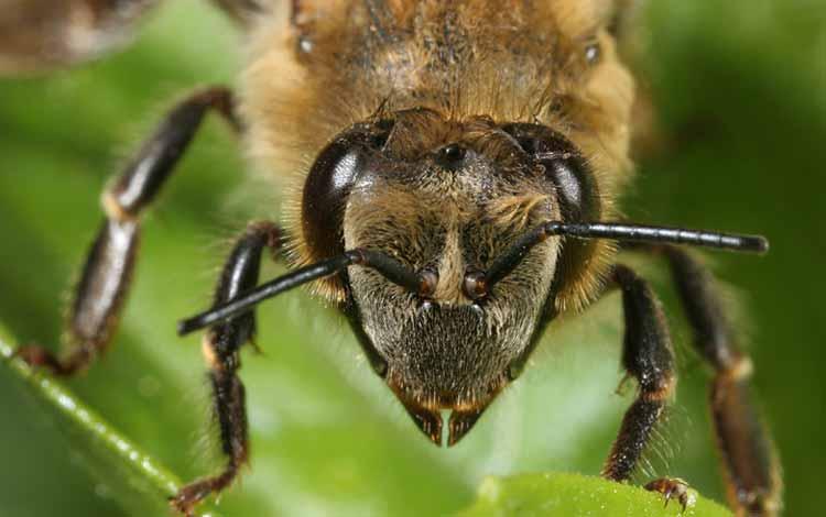 Serangga dan Kuman Dengan Wajah Menyeramkan Jika Dilihat Secara dekat - Apis Mellifera