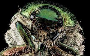 Serangga dan Kuman Dengan Wajah Menyeramkan Jika Dilihat Secara dekat - Japanese Beetle