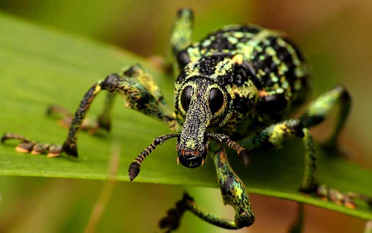 Serangga dan Kuman Dengan Wajah Menyeramkan Jika Dilihat Secara dekat - Kumbang