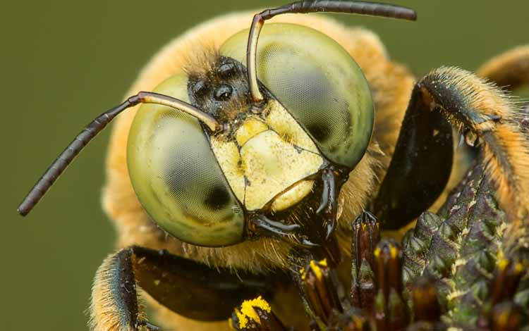 Serangga dan Kuman Dengan Wajah Menyeramkan Jika Dilihat Secara dekat - Lebah Carpenter