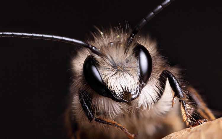 Serangga dan Kuman Dengan Wajah Menyeramkan Jika Dilihat Secara dekat - Mason Bee