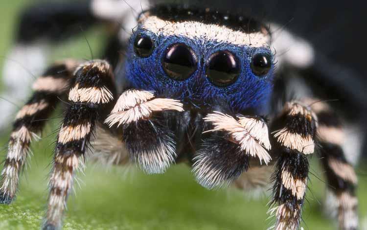 Serangga dan Kuman Dengan Wajah Menyeramkan Jika Dilihat Secara dekat - Peacock Spider