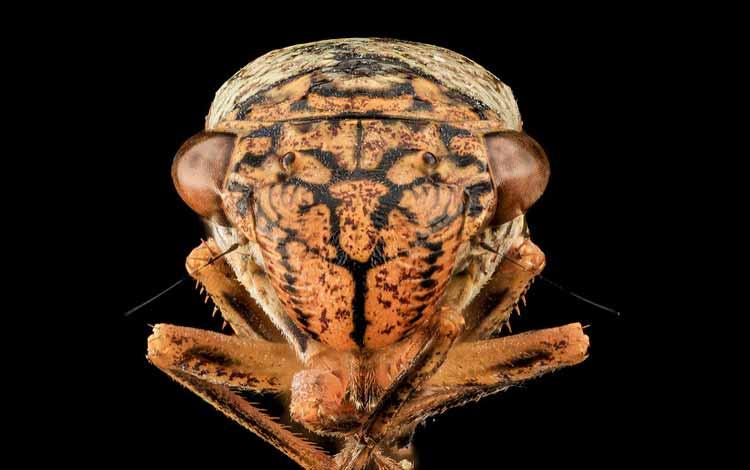 Serangga dan Kuman Dengan Wajah Menyeramkan Jika Dilihat Secara dekat - Sharpshooter Broad