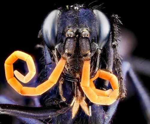 Serangga dan Kuman Dengan Wajah Menyeramkan Jika Dilihat Secara dekat - Spider Wasp