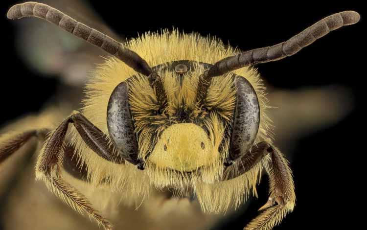 Serangga dan Kuman Dengan Wajah Menyeramkan Jika Dilihat Secara dekat - Sweat bees