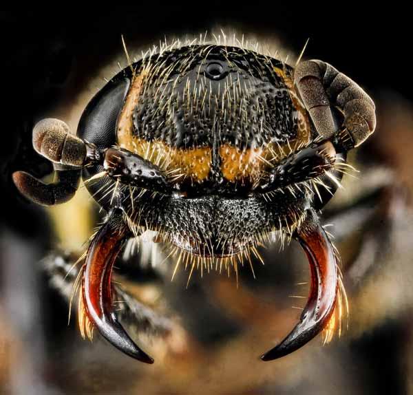 Serangga dan Kuman Dengan Wajah Menyeramkan Jika Dilihat Secara dekat - Tawon Tiphiid