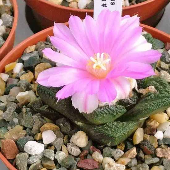 Aneka Rekomendasi Jenis Kaktus Hias Mini Yang Bakal