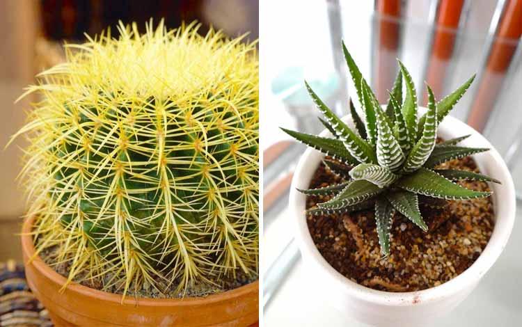 Aneka Rekomendasi Jenis Kaktus Hias Mini Yang Bakal Mempercantik