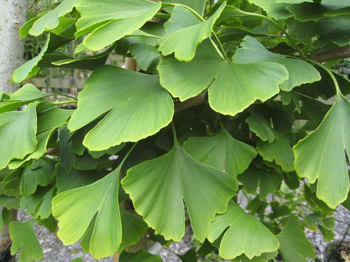 Cara Ampuh Mengurangi Rambut Rontok Secara Alami - daun ginkgo biloba