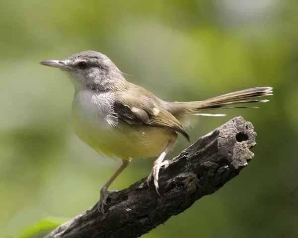 Daftar Jenis Burung Yang Sering Dilombakan Dengan Harga Yang Mahal - Burung Ciblek