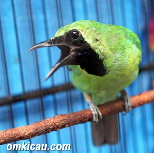 Daftar Jenis Burung Yang Sering Dilombakan Dengan Harga Yang Mahal - Burung Cucak Hijau