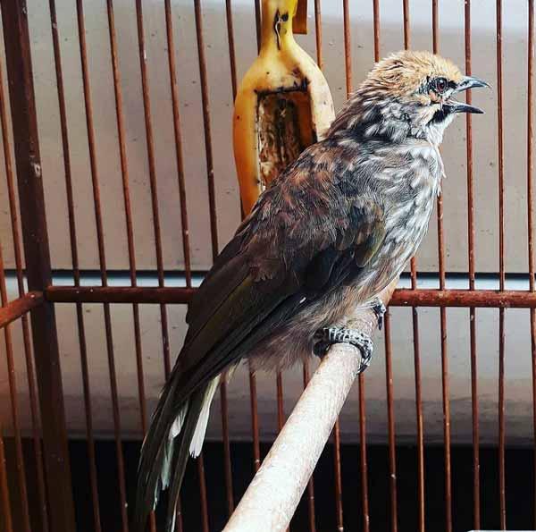 Daftar Jenis Burung Yang Sering Dilombakan Dengan Harga Yang Mahal - Burung Cucak Rowo